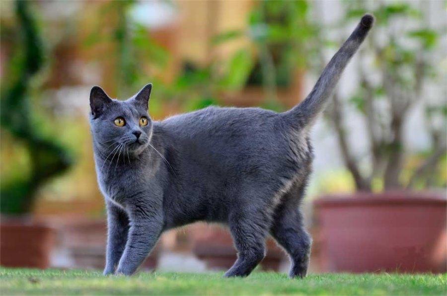 Порода кошки шартрез