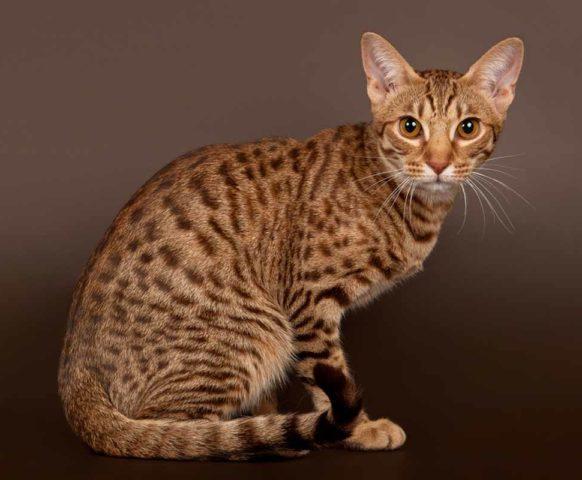 Порода кошек оцикет: фото