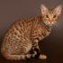 Оцикет кошка: фото домашней дикарки