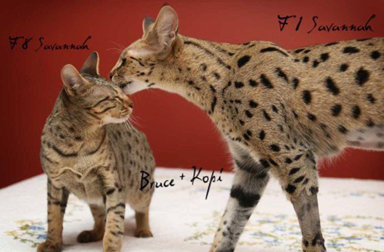 9 самых крупных пород кошек. Фото