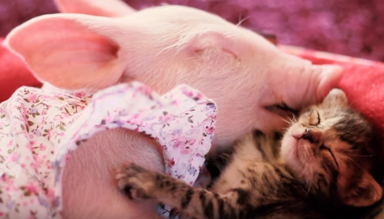 Кот свинье друг и товарищ – поросёнок и котёнок ломают стереотипы!