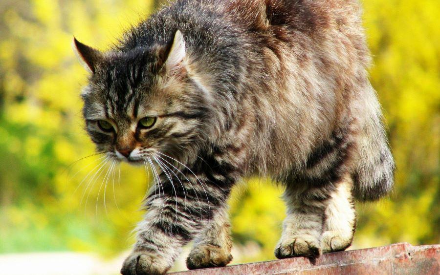 Преимущества стерилизации кошек