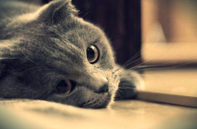 Признаки боли у кошки