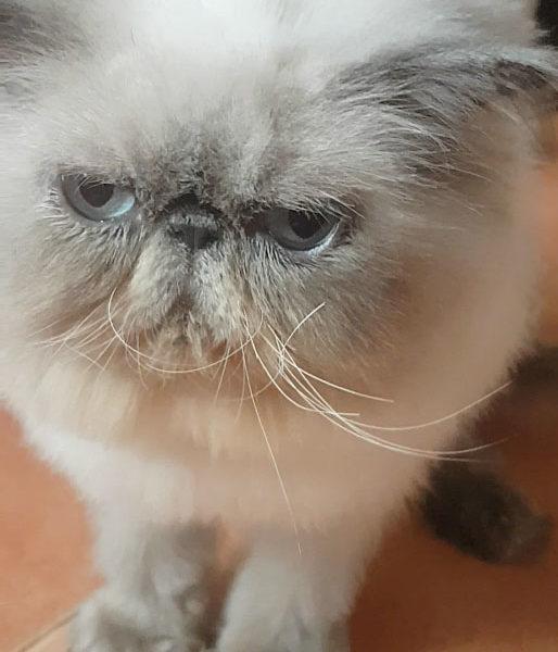 Продажа котят породы персидская гималайская