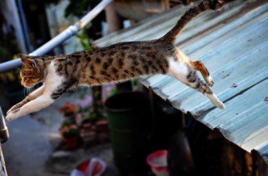 Прыгающая кошка: фото