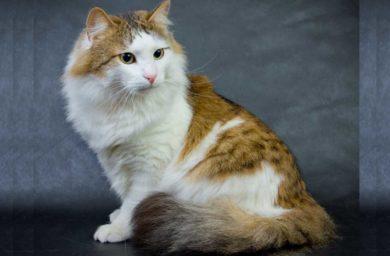 Кошка рагамаффин: фото