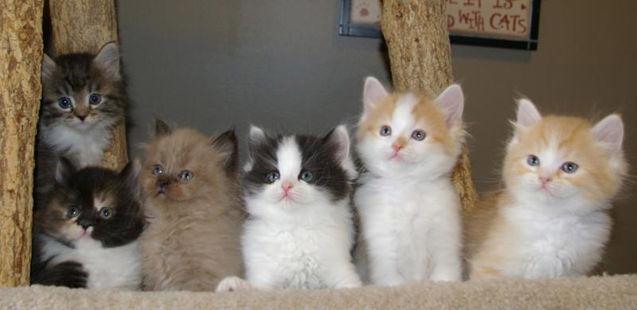 Купить котенка рагамаффина