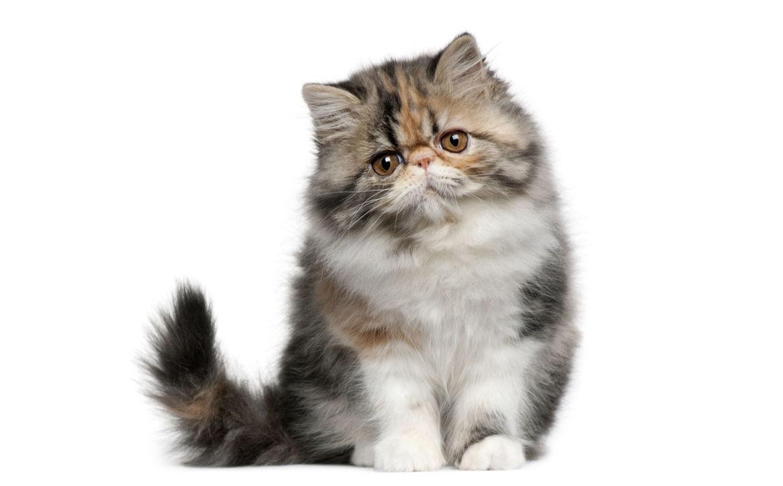 Какой желудок у кошки?