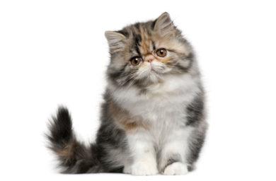 Размер желудка кошки