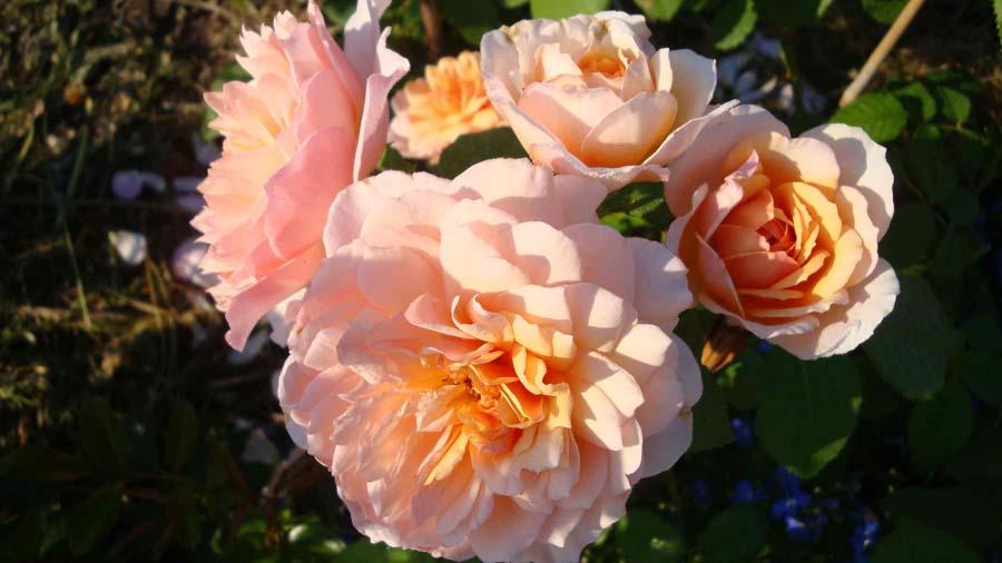 Роза сорта Грейс