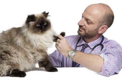Сахарный диабет у кошек: лечение
