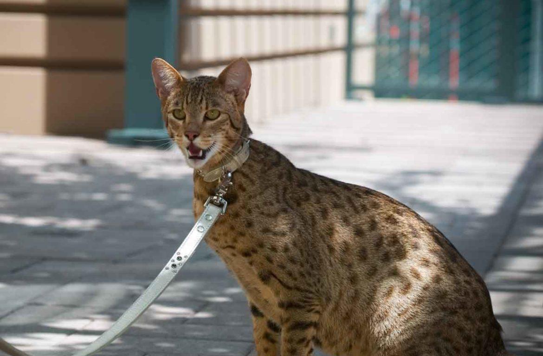Самый дорогой кот для кошек