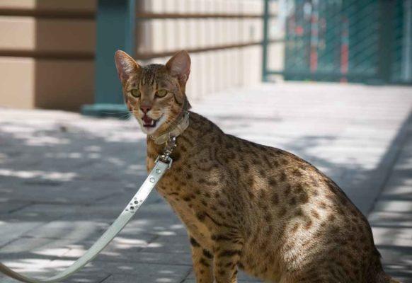 Самая дорогая кошка в мире ашера