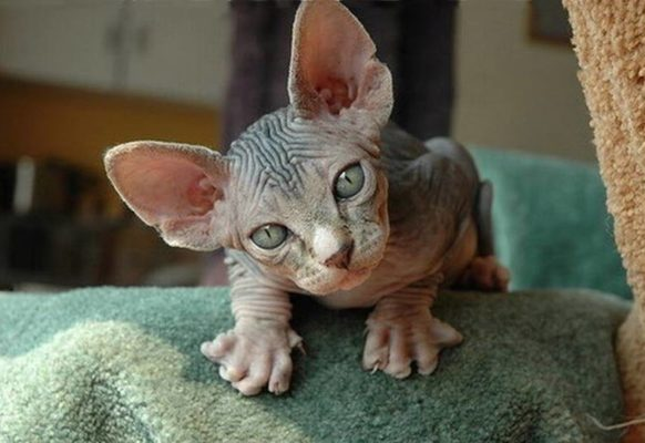 Самая модная порода кошек