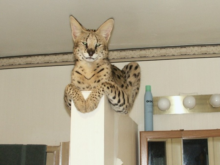 Самые экзотические кошки
