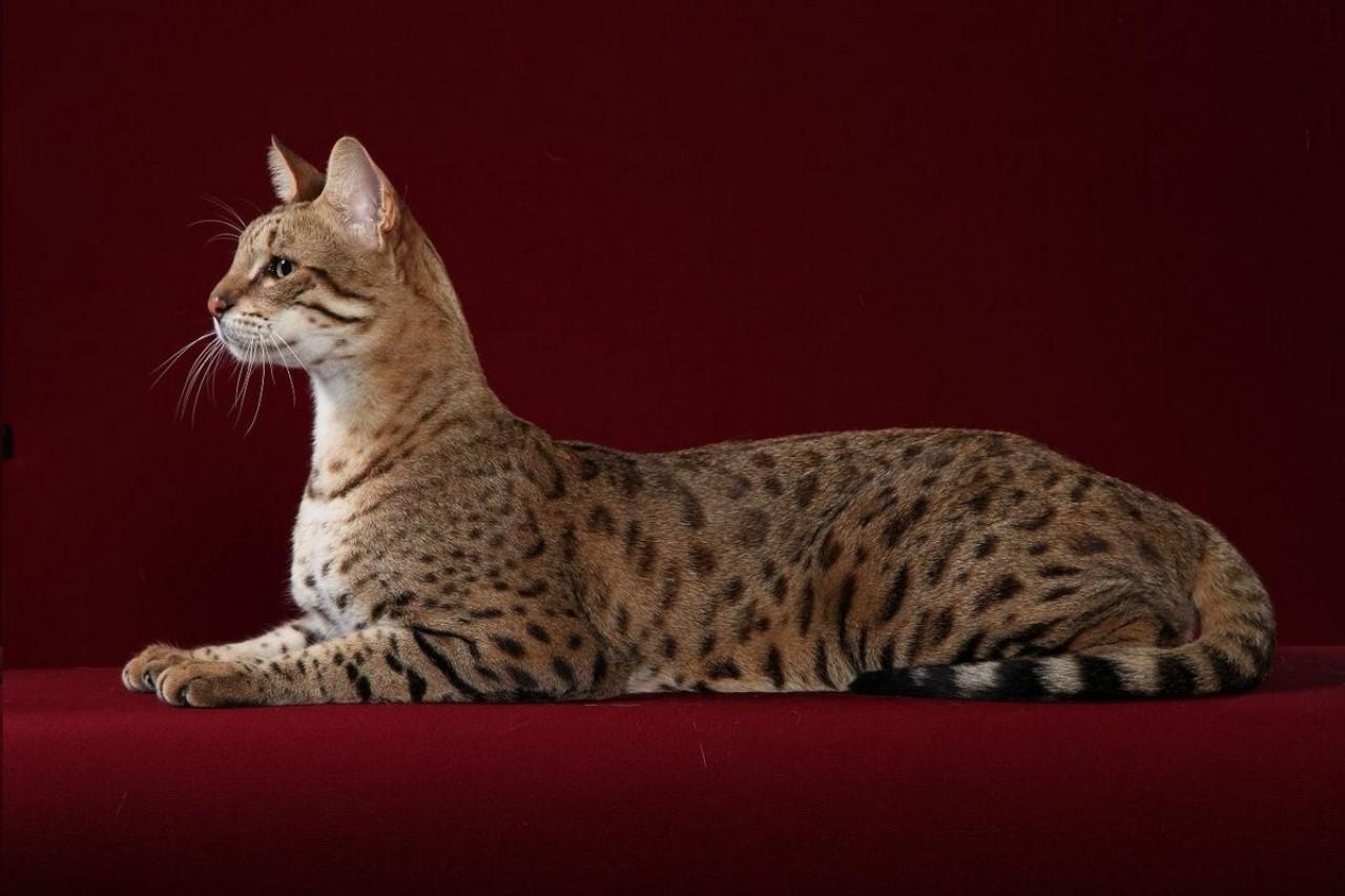 Самые экзотические породы кошек