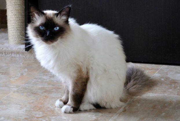 Самые красивые модные кошки породы бирма