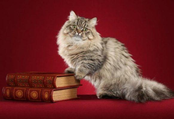 Самые модные кошки в мире — наполеон