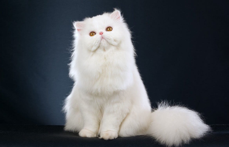 Самые пушистые кошки: фото красавиц
