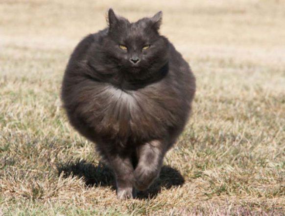 Самые пушистые кошки: фото
