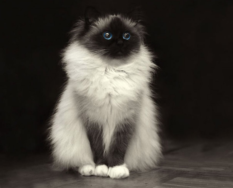 Самые пушистые кошки: фото бирманской