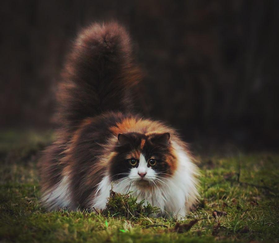 Самые пушистые кошки: фото норвежской лесной