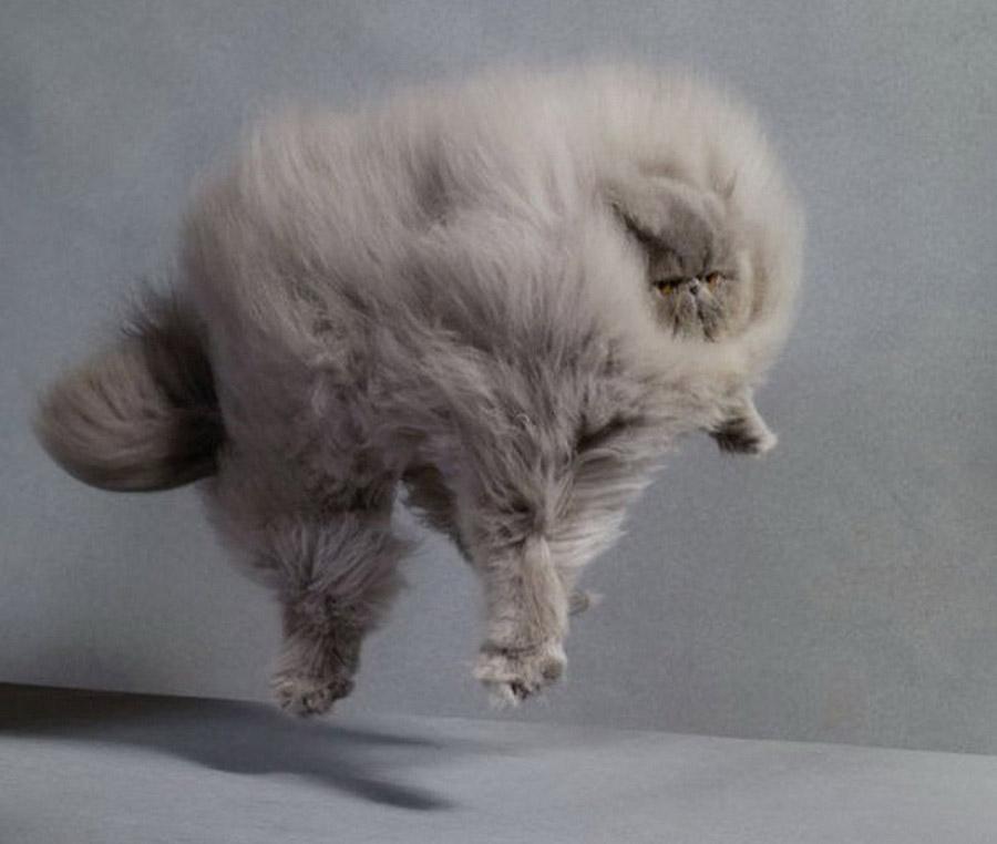 Самые пушистые кошки: фото перса