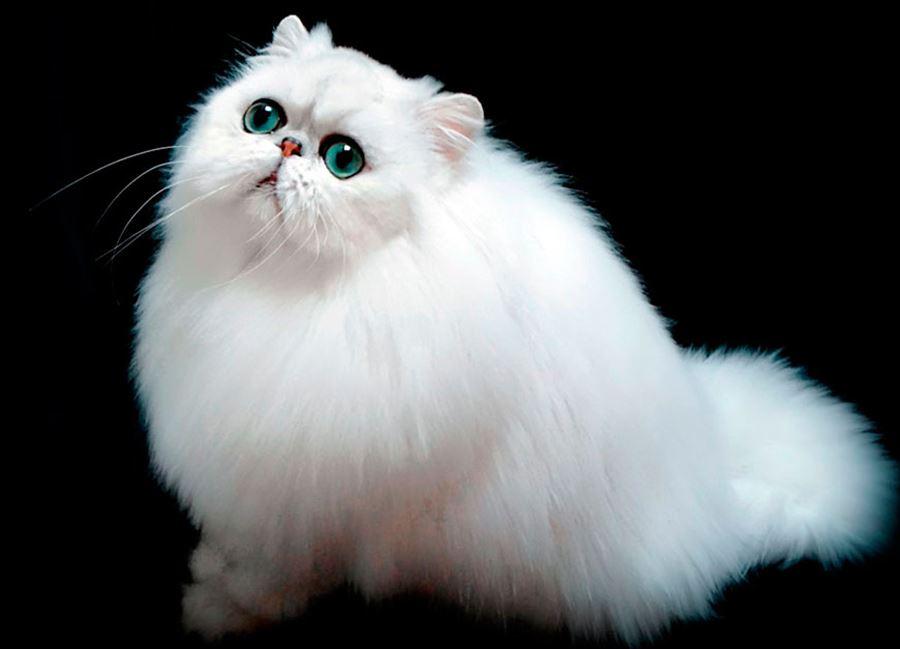 Самые пушистые кошки: фото персидской