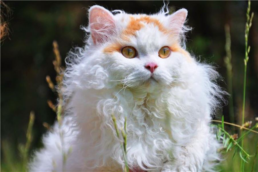 Самые пушистые кошки: фото селкирк-рекса