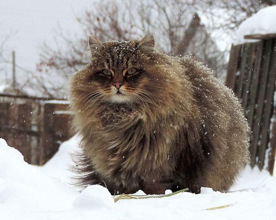 Самые пушистые кошки: фото сибирской