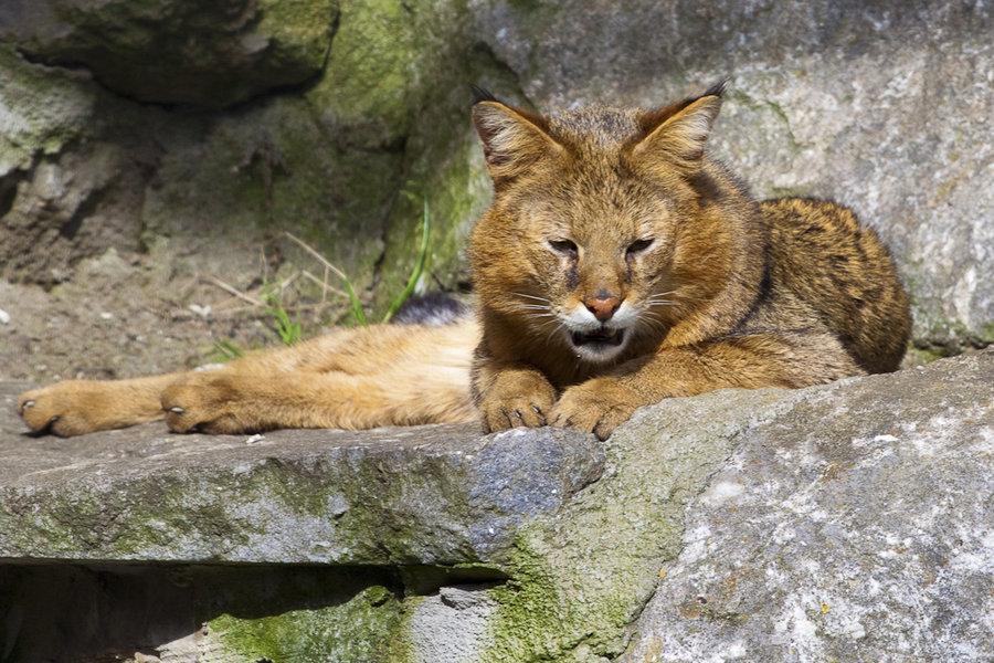 Самый большой кот камышовый