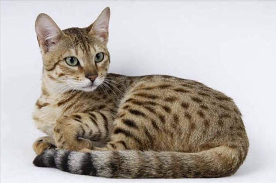 Кот серенгети: фото