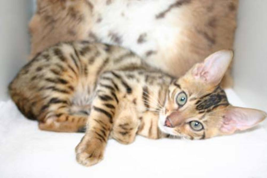 Кошка серенгети: фото