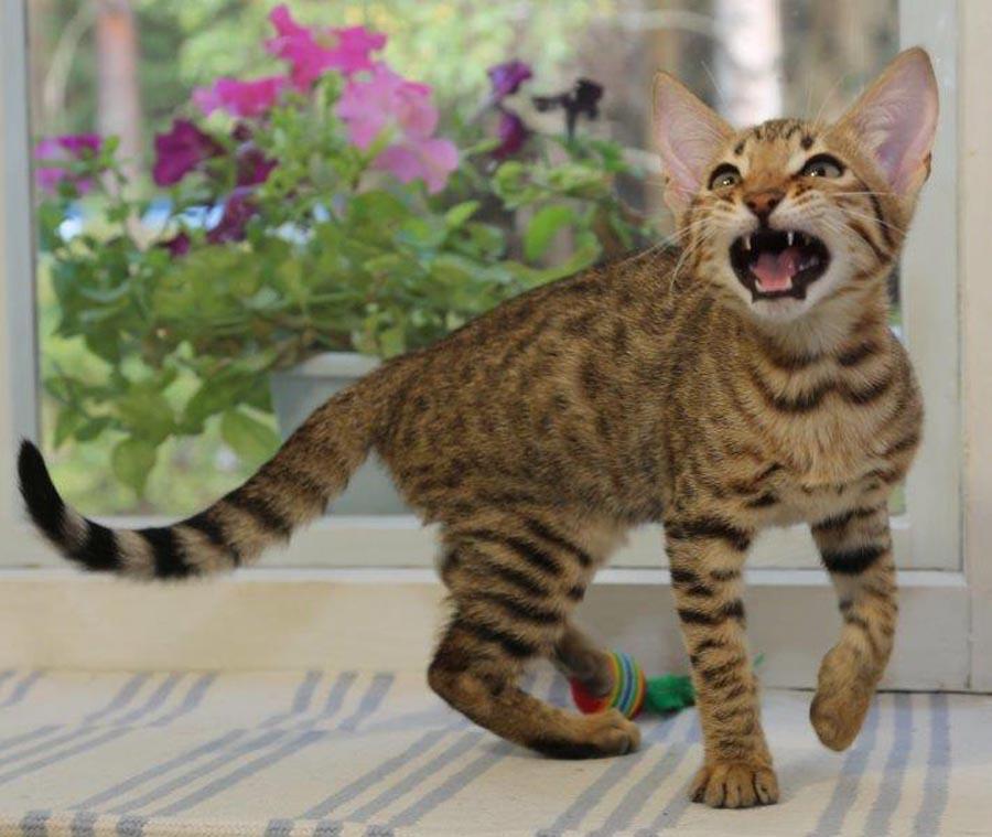 Купить котенка серенгети