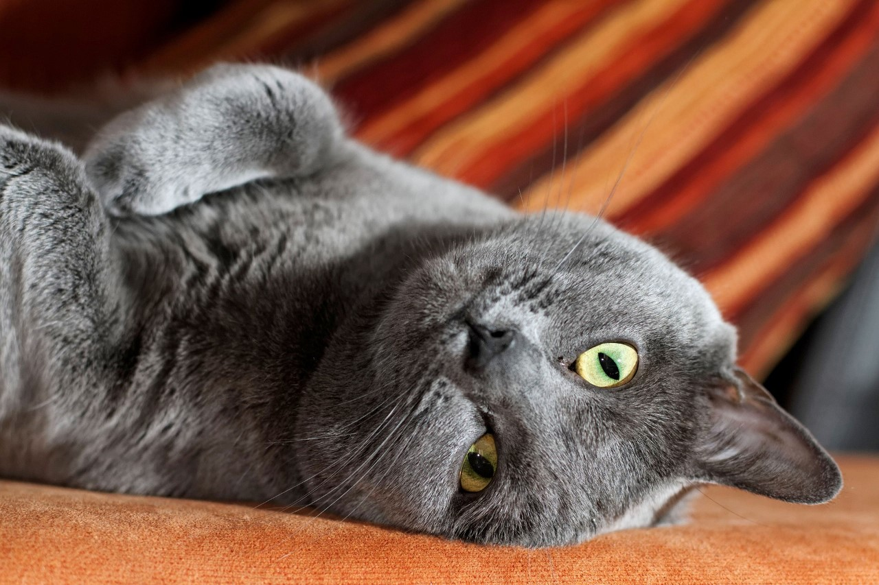 Шартрез картезианская кошка