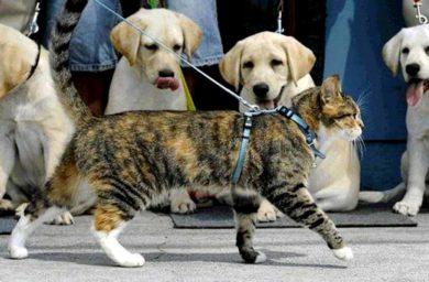 Шлейка для кошки своими руками: видео