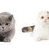 Шотландская вислоухая и британская кошка: видимые отличия