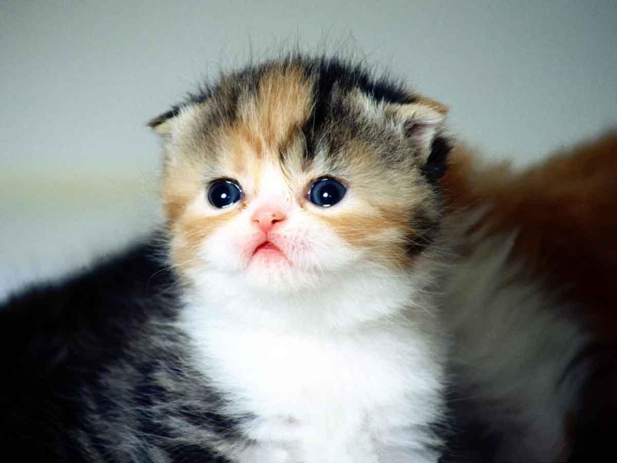 Шотландские кошки скоттиш фолд