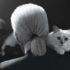 Кошка Карла Лагерфельда — красавица Шупетт
