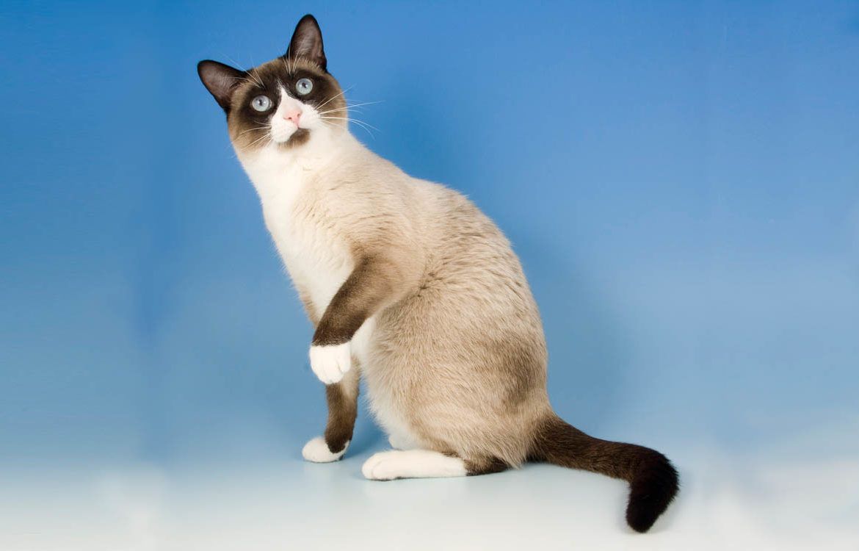 Cноу-шу — «снежная туфелька» для кошатников