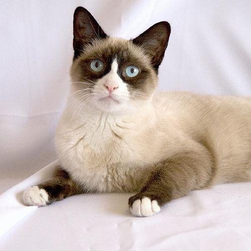 Отличие сноу-шу от сиамской кошки