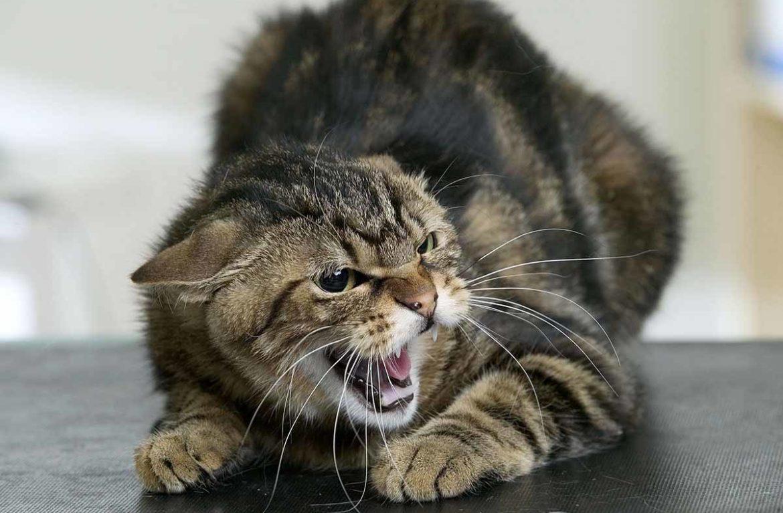 Бешенство у кошек: симптомы и опасность для человека