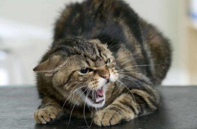 Симптомы бешенства у кошек и людей