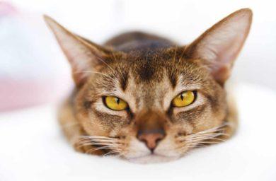 Симптомы кровотечения в желудке у кошки