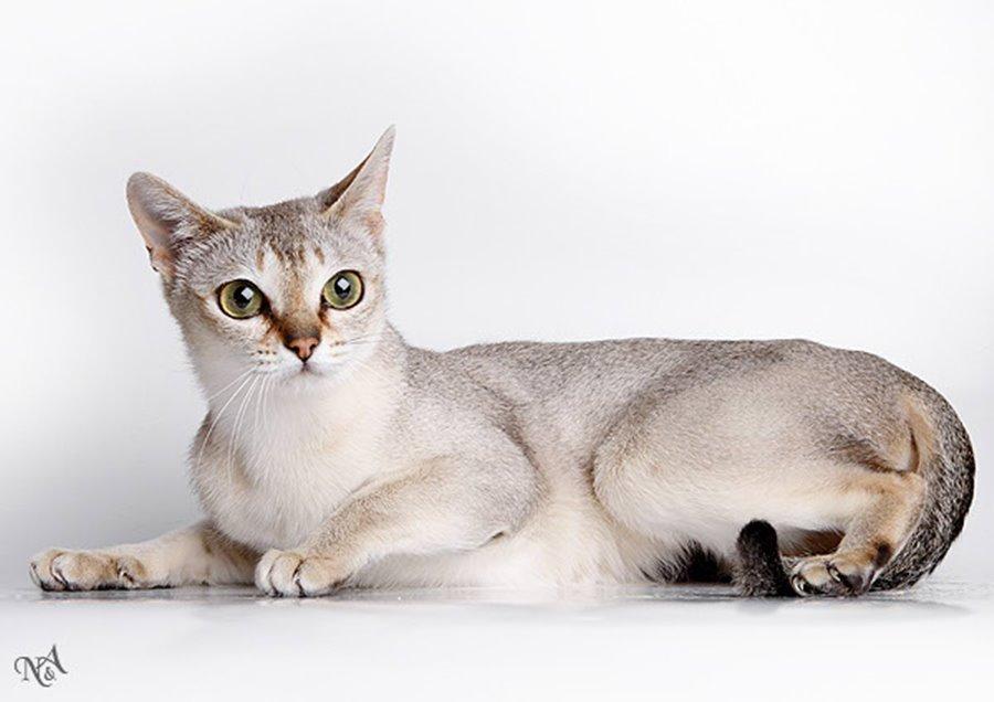 Кошка сингапура