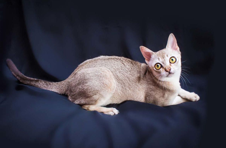 Сингапурская кошка и не только
