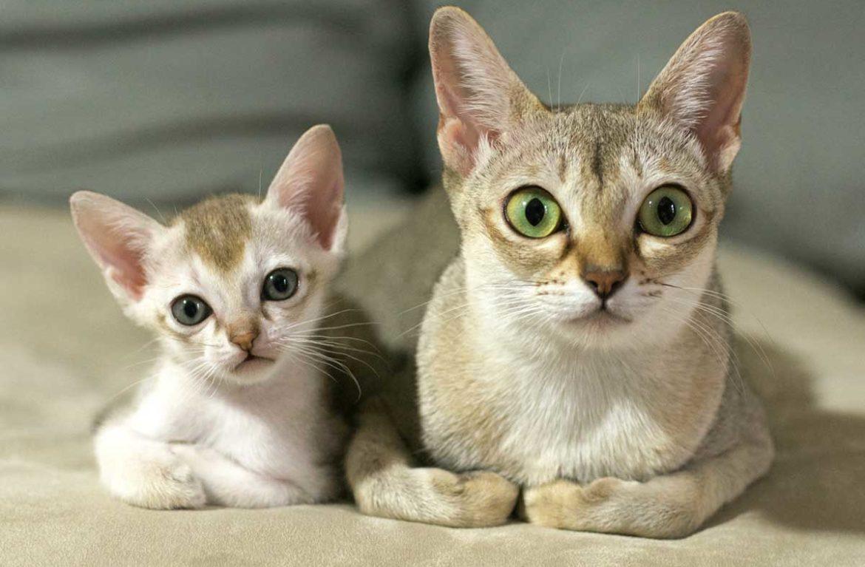Сингапурские котята купить в москве