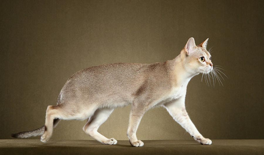 Сингапурская кошка сингапура