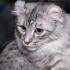 Купить кошку американский кёрл: цена «дизайнерского» питомца