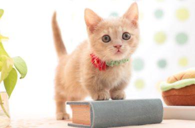 Сколько стоит кошка породы манчкин